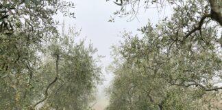 olivi agricultura