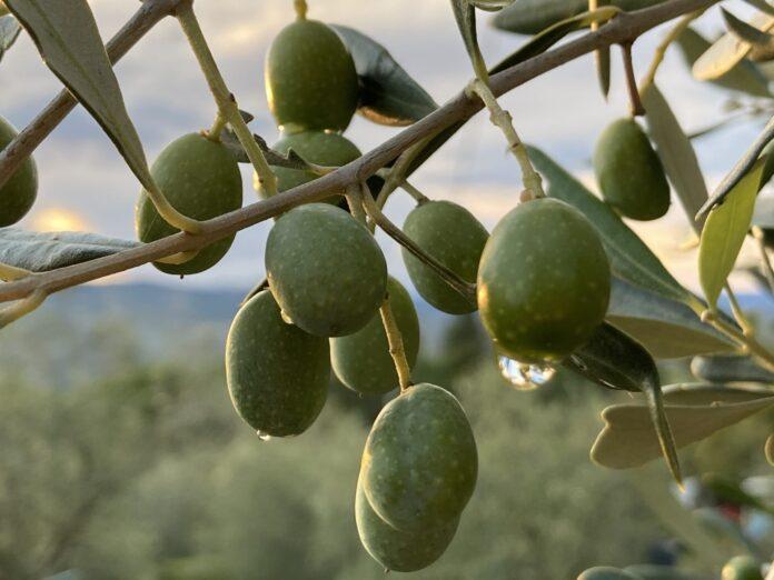 olive_agricultura_ok