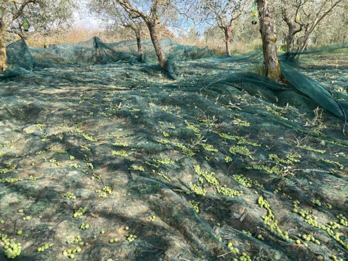 olive_raccolta_agricultur